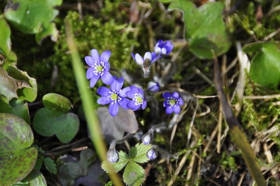Blommande blåsippa