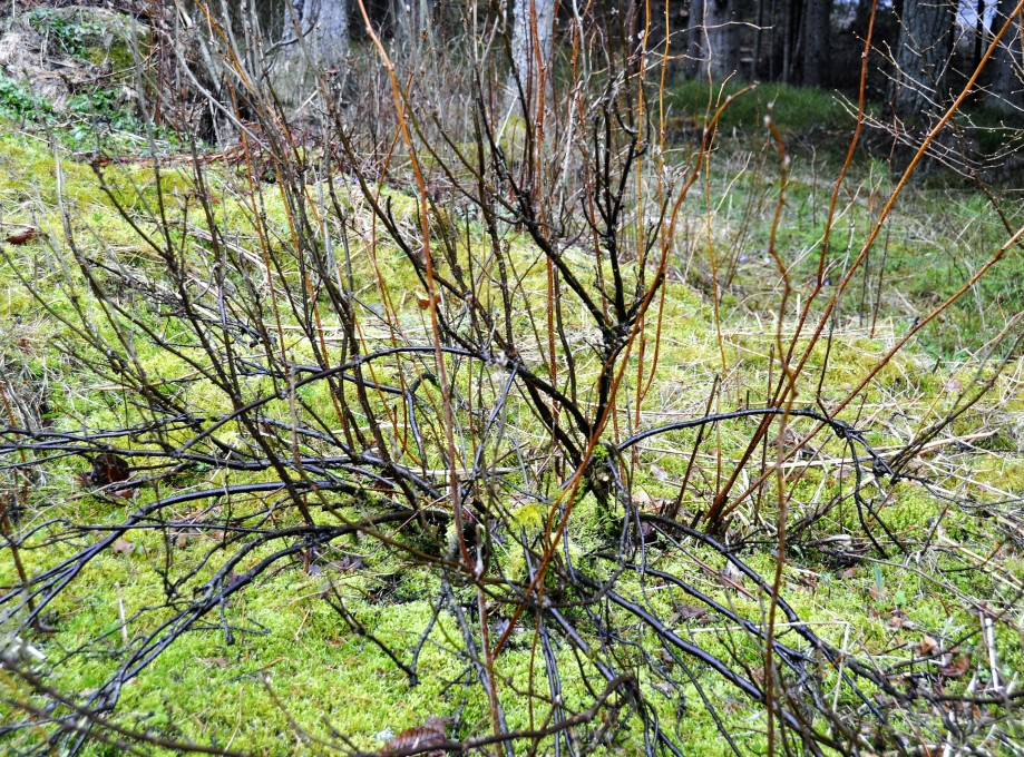 okänd buske