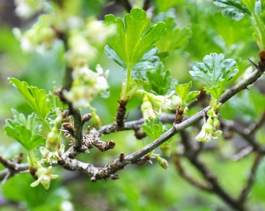 Krusbärsblom