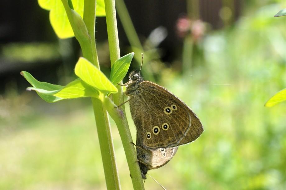 amorösa luktgräsfjärilar