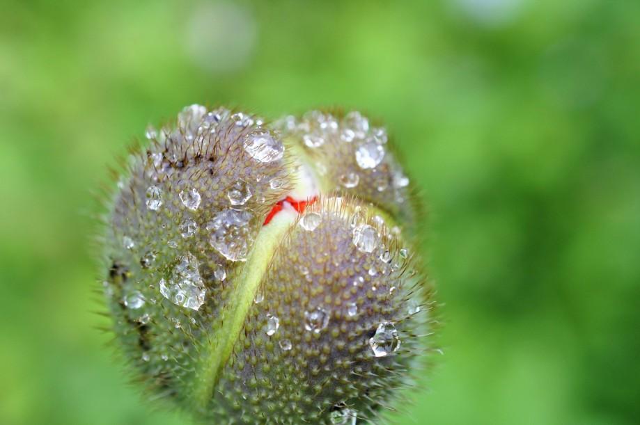 Blomknopp jättevallmo