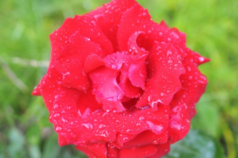 Röd_ros