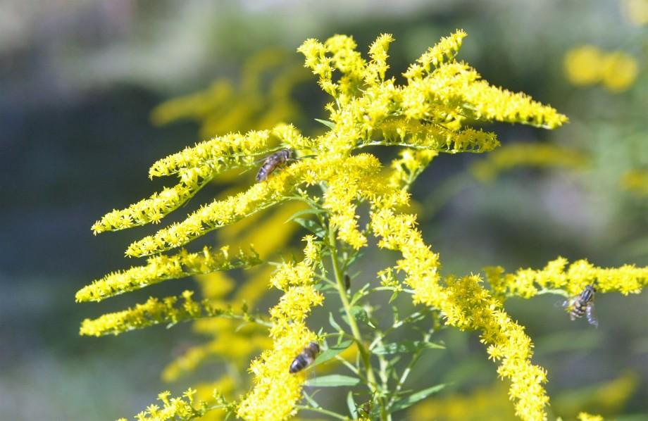 gullris-med-blomflugor