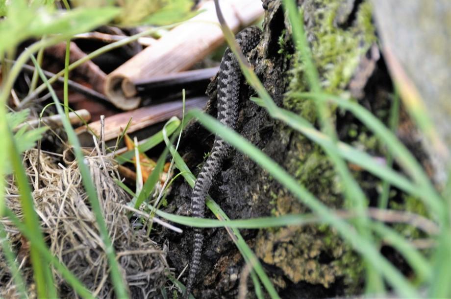 huggorm-svans