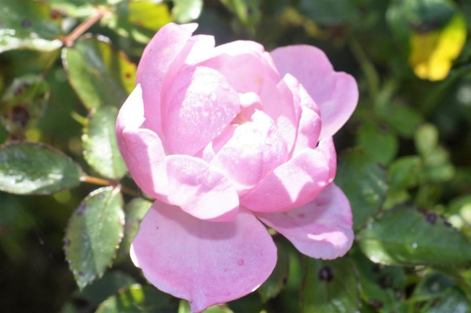 rosa-ros