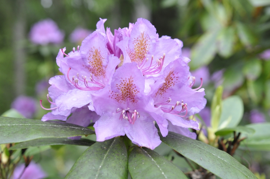 rhododendronblomma