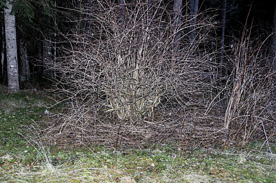 beskuren-schersminbuske