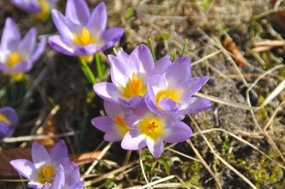 fyra blommor grekisk krokus