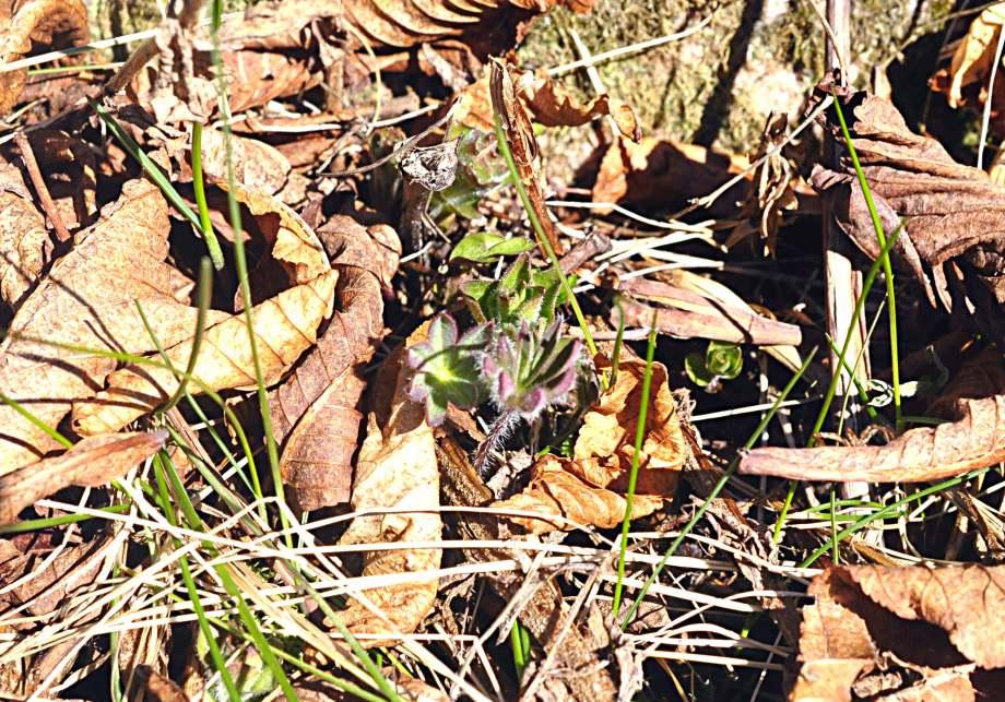 vårblad lupiner bland torra löv
