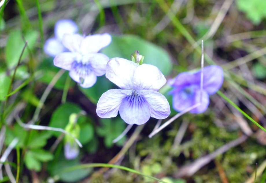 blommande skogsviol
