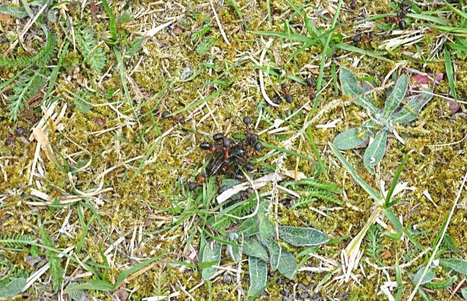 stackmyror med larv