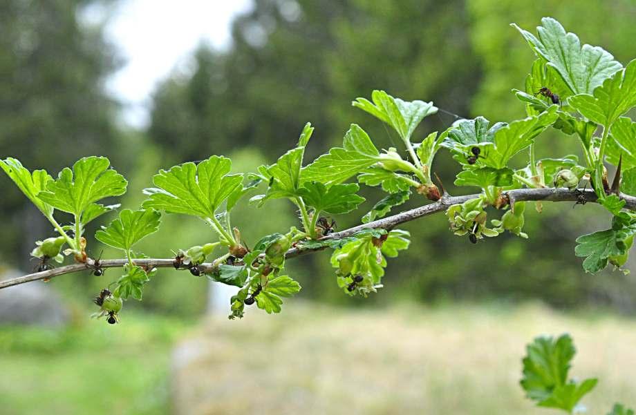 stackmyror på krusbärsblommor