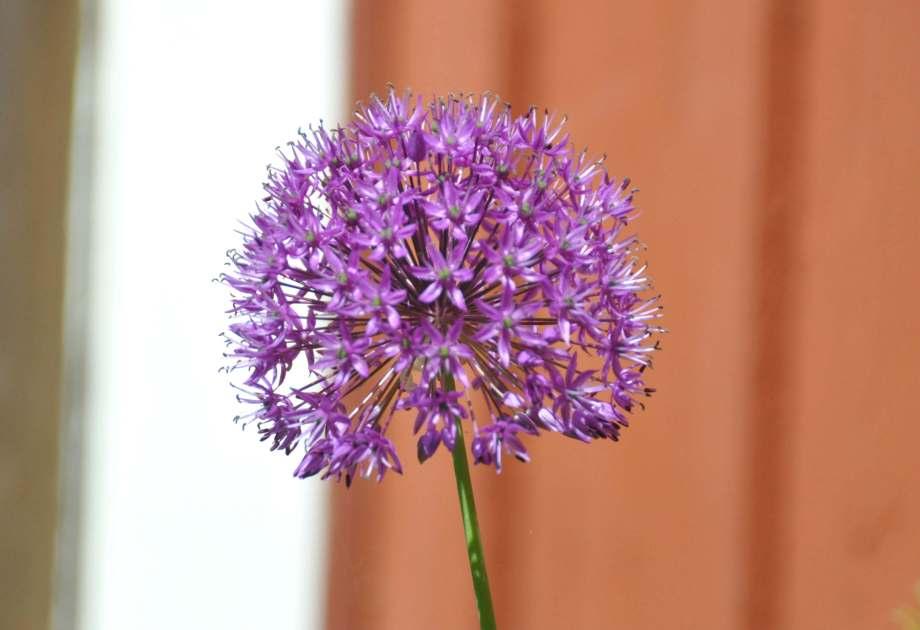 allium blomma