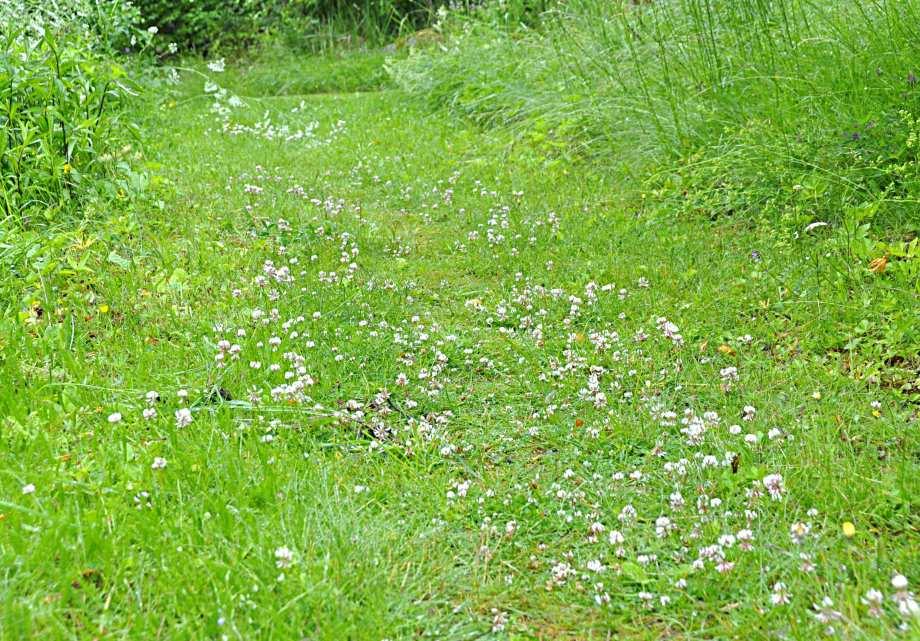 vitklöver i trädgårdsgången