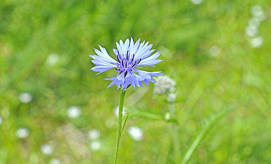 blomma blåklint