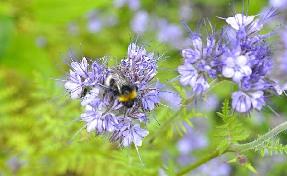 honungsfacelia med jordsnylthumla