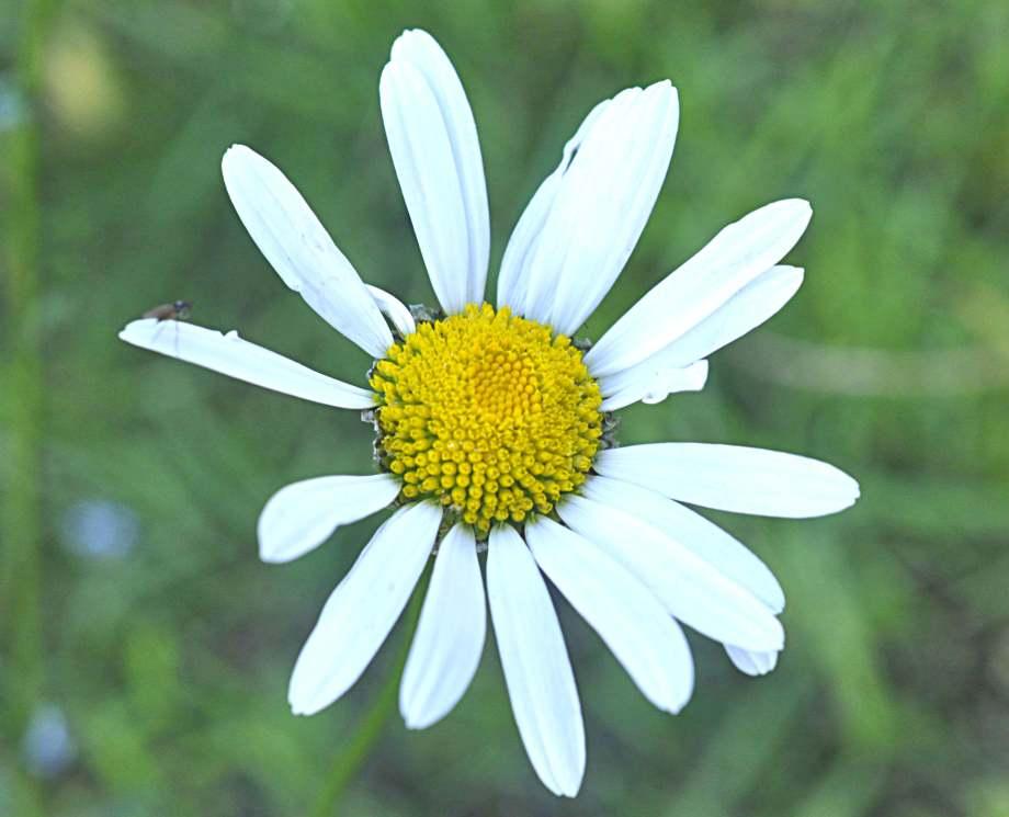 blomma av prästkrage