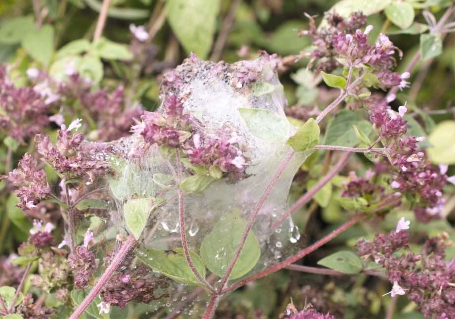 spindelnät som skydd för äggkokong