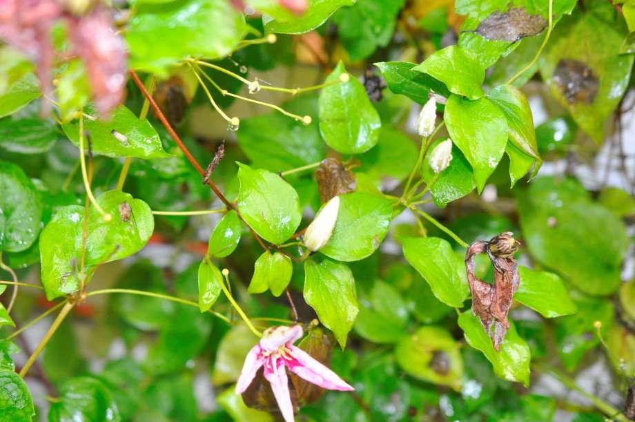 blommande klematis i oktober