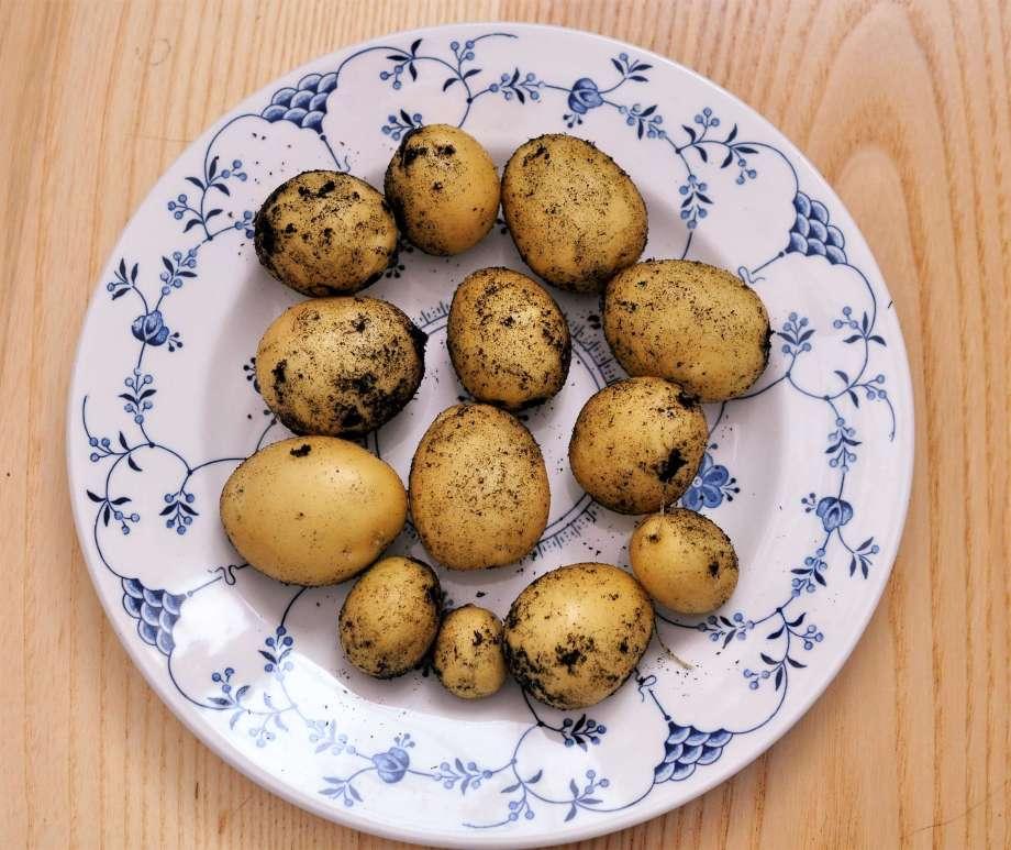 nyskördade potatisknölar på tallrik