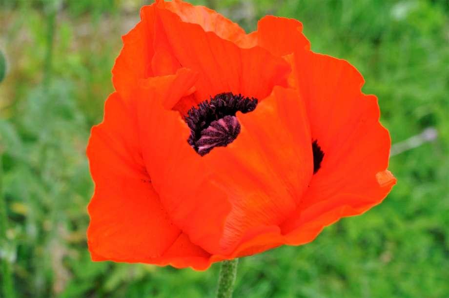 blomma jättevallmo