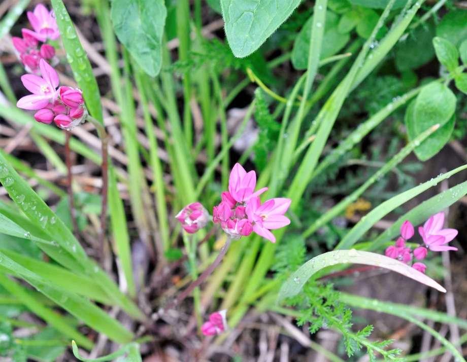 rosa berglök