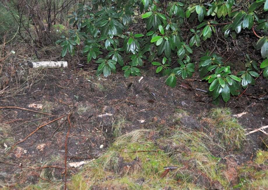 vildsvinsuppbökad mark runt rhododendron