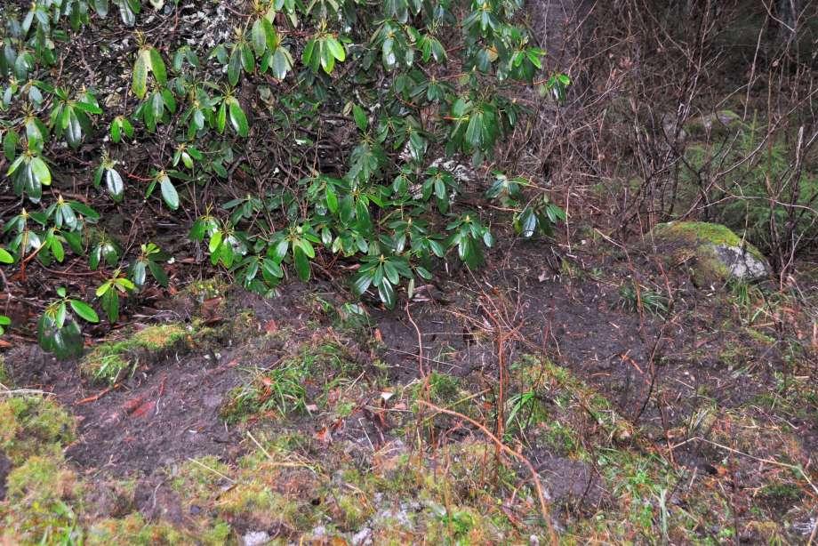 vildsvin har bökat vid rhododendron