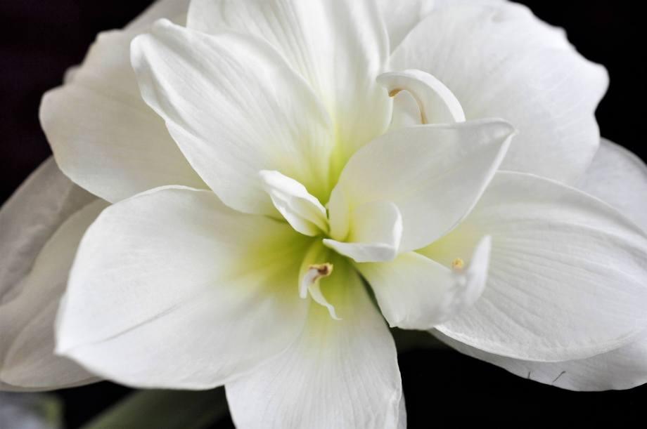 blomma vit amaryllis