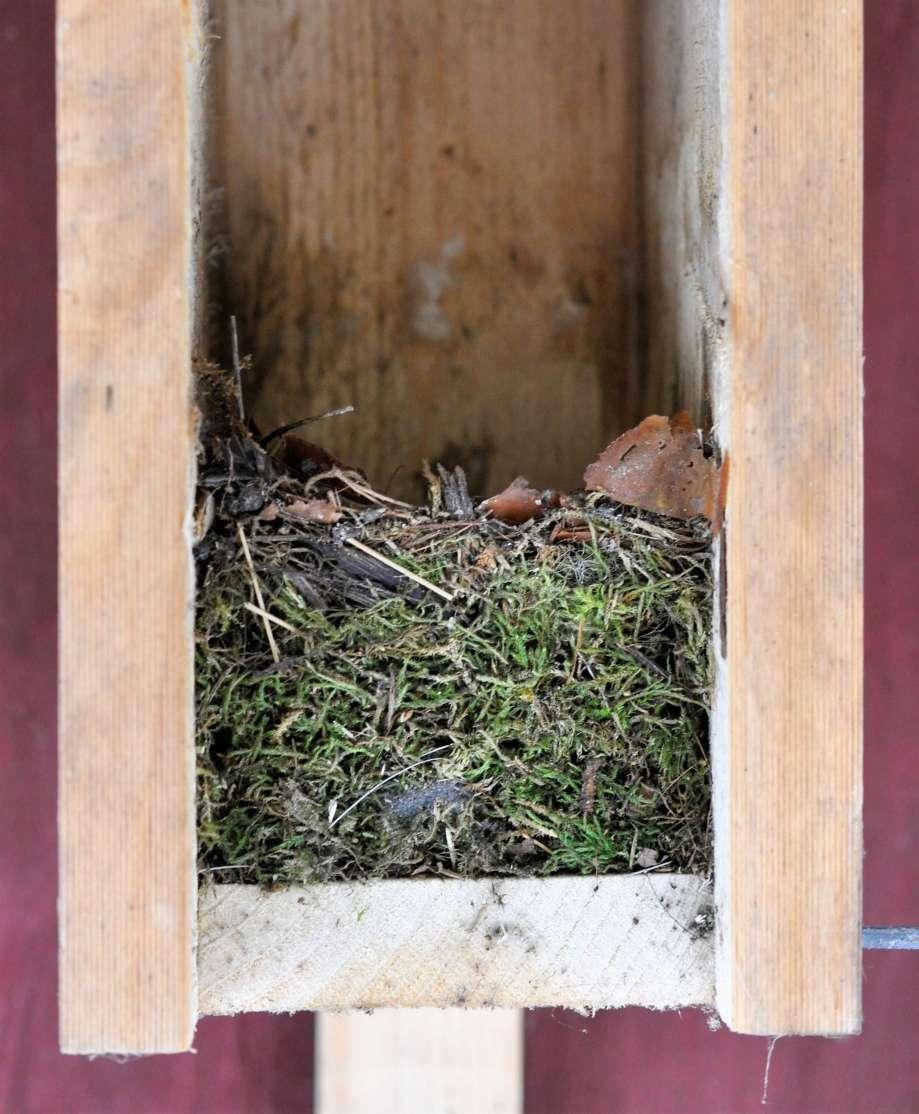 flugsnapparbo i fågelholk