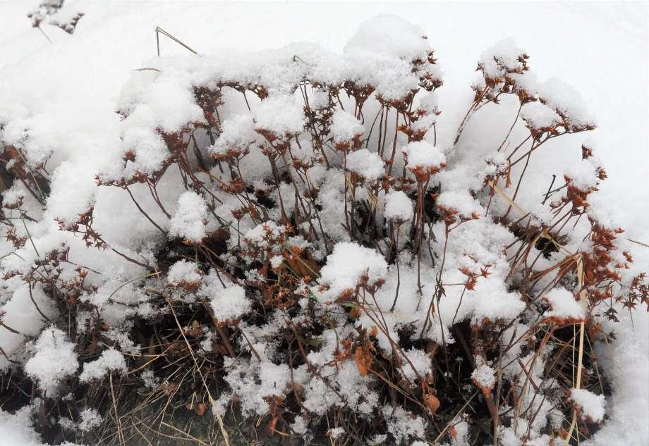 fröställning av sibiriskt fetblad i snö