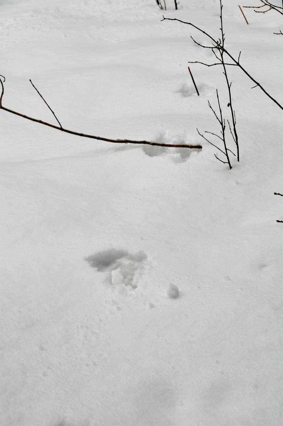 mårdspår i snön