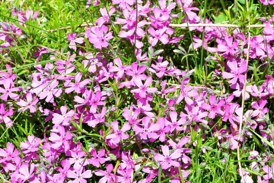 blommande rosa mossflox