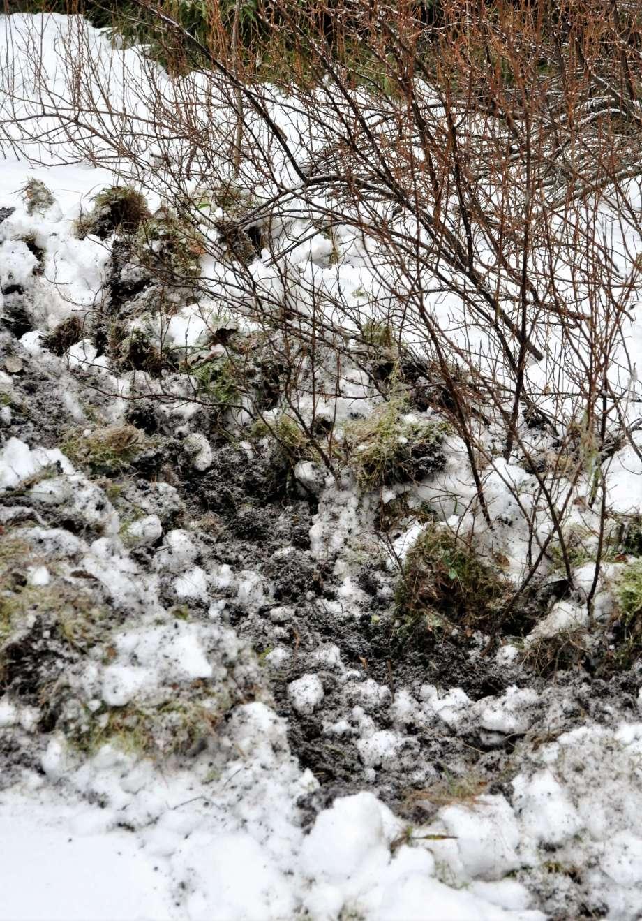 uppbökad djupfryst mark vildsvin