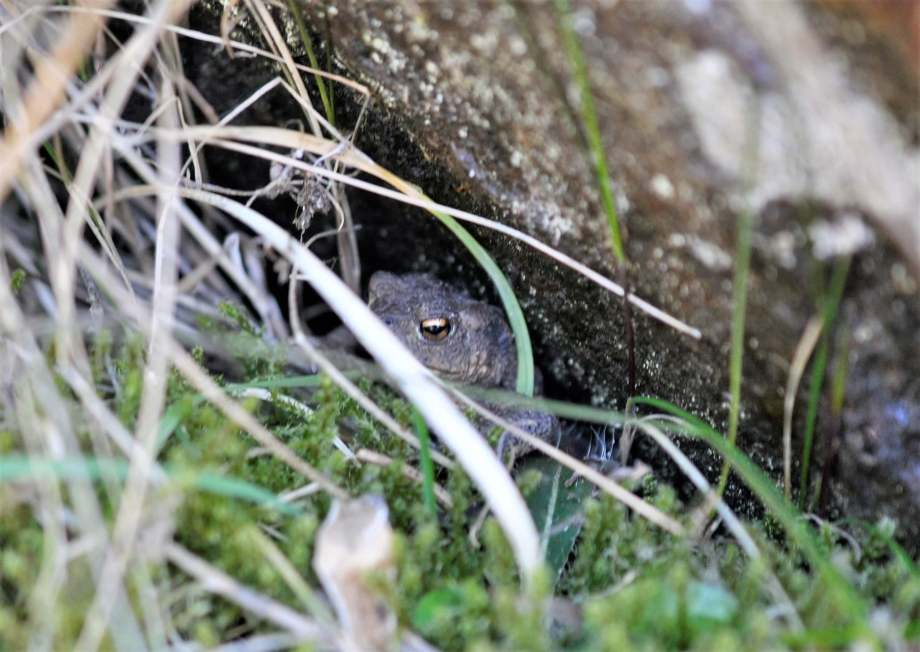 padda som gömt sig under en sten bakom grässtrån
