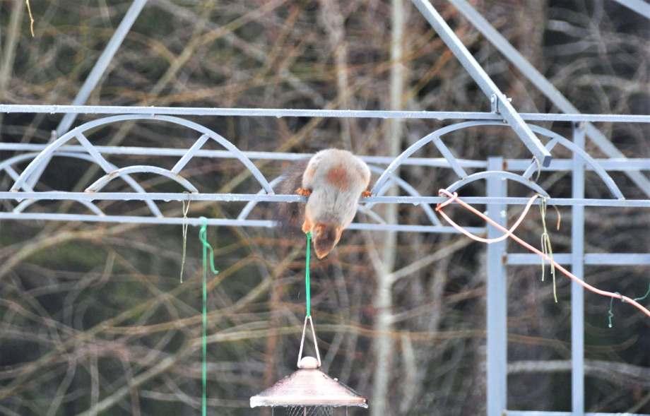 ekorre hukar ovanför fågelmatare