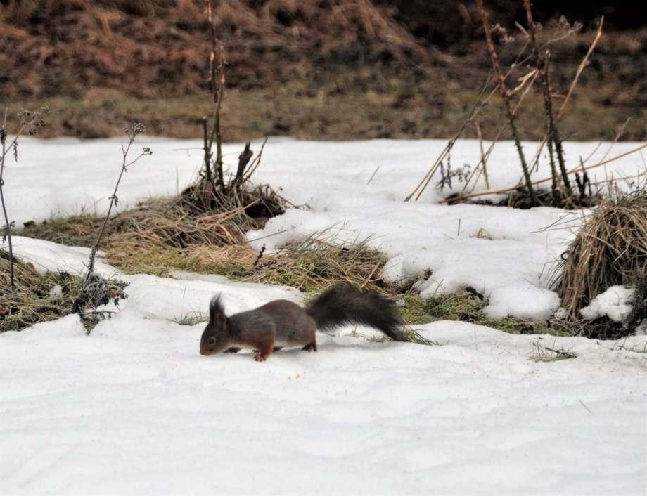 ekorre äter fågelmat på marken