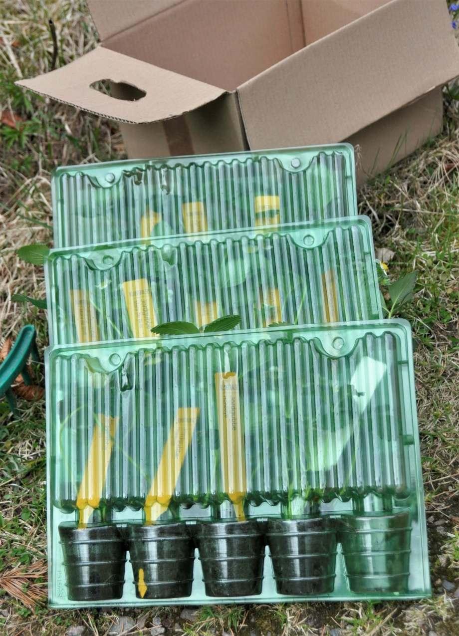 jordgubbsplantor i plastkassetter för att klara transporten, postorder.