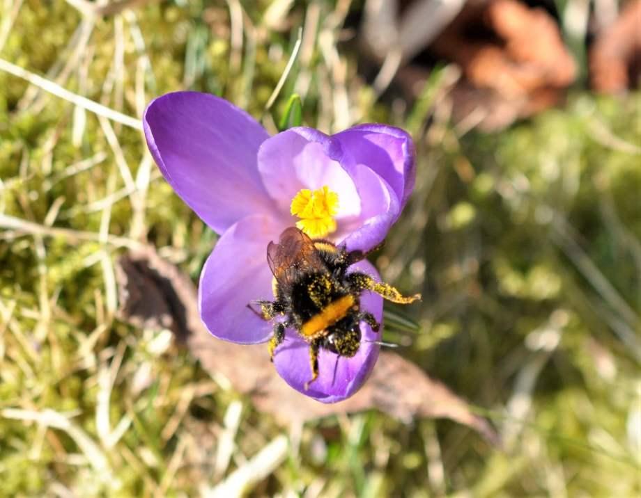 mörk jordhumledrottning täckt med pollen i lila krokus