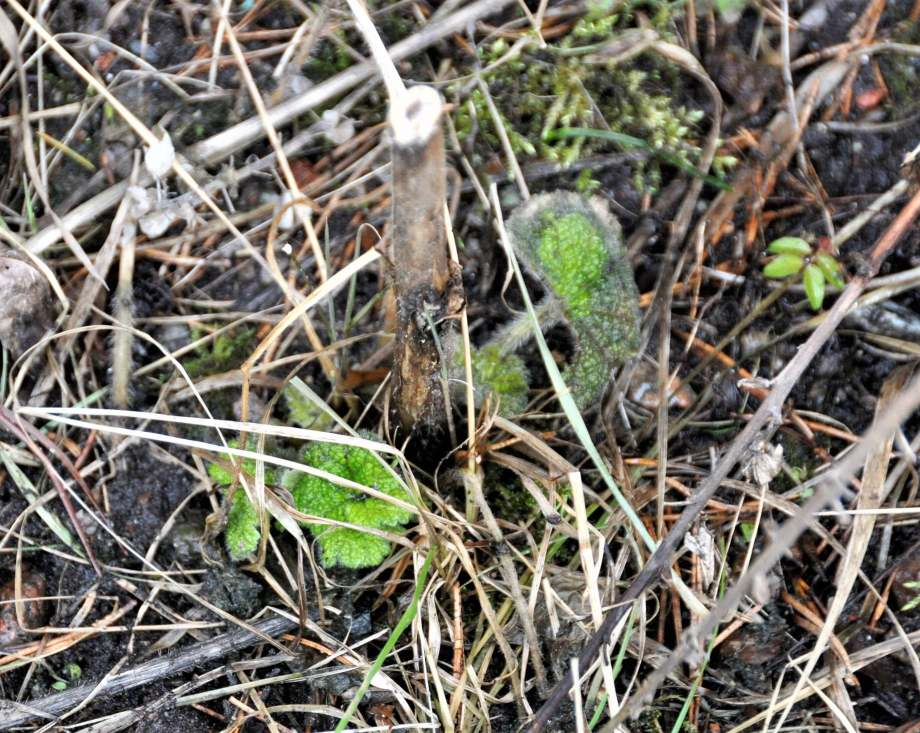 små blad av en övervintrad stockros