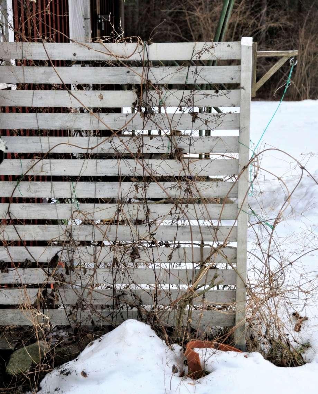 vinterbild av vildvuxen klematis mot spaljé