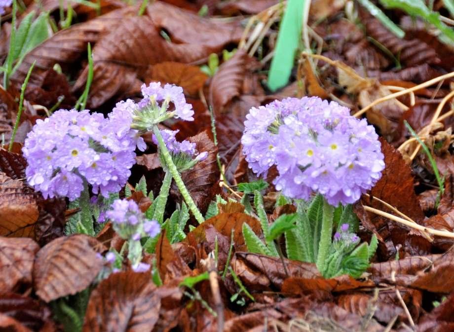 blommande lila bollvivor sticker upp bland torra höstlöv