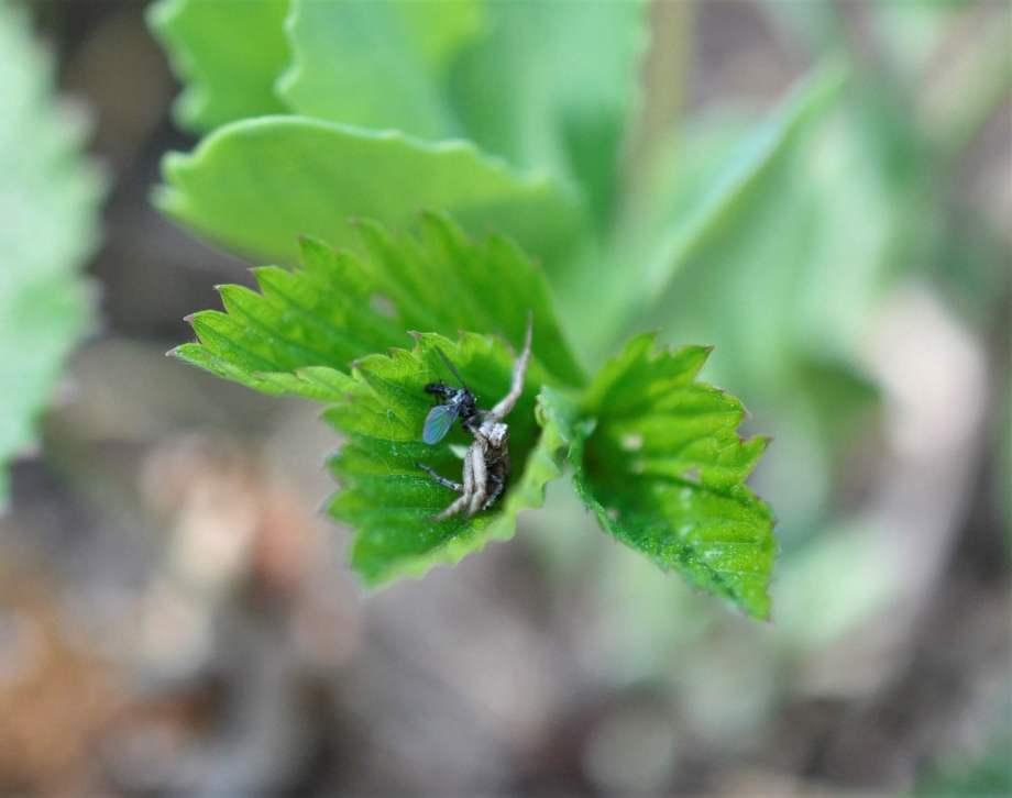 liten brun krabbspindel med fångad fluga sitter i ett smultronblad