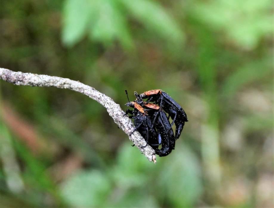 tre rödsköldade asbaggar på en pinne