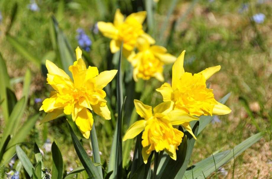 fem blommande Van Sion narcisser med blåstjärnor i bakgrunden