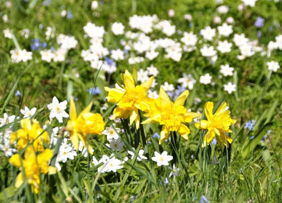 sex blommande Van Sion framför en äng med vitsippor och blåstjärnor