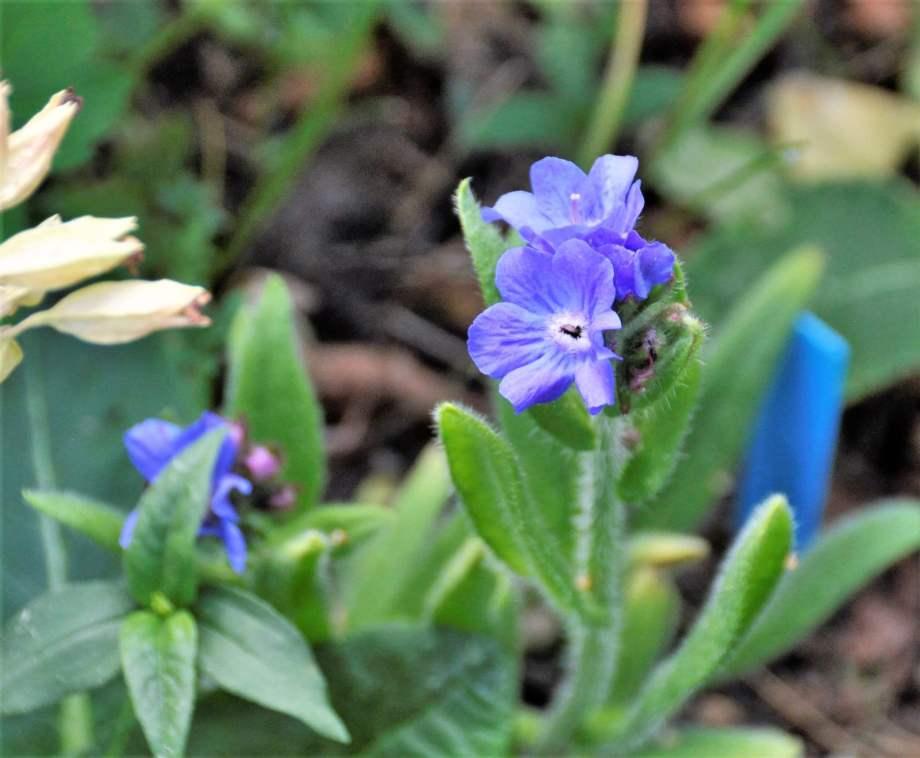 närbild på oxtungans blå blommor