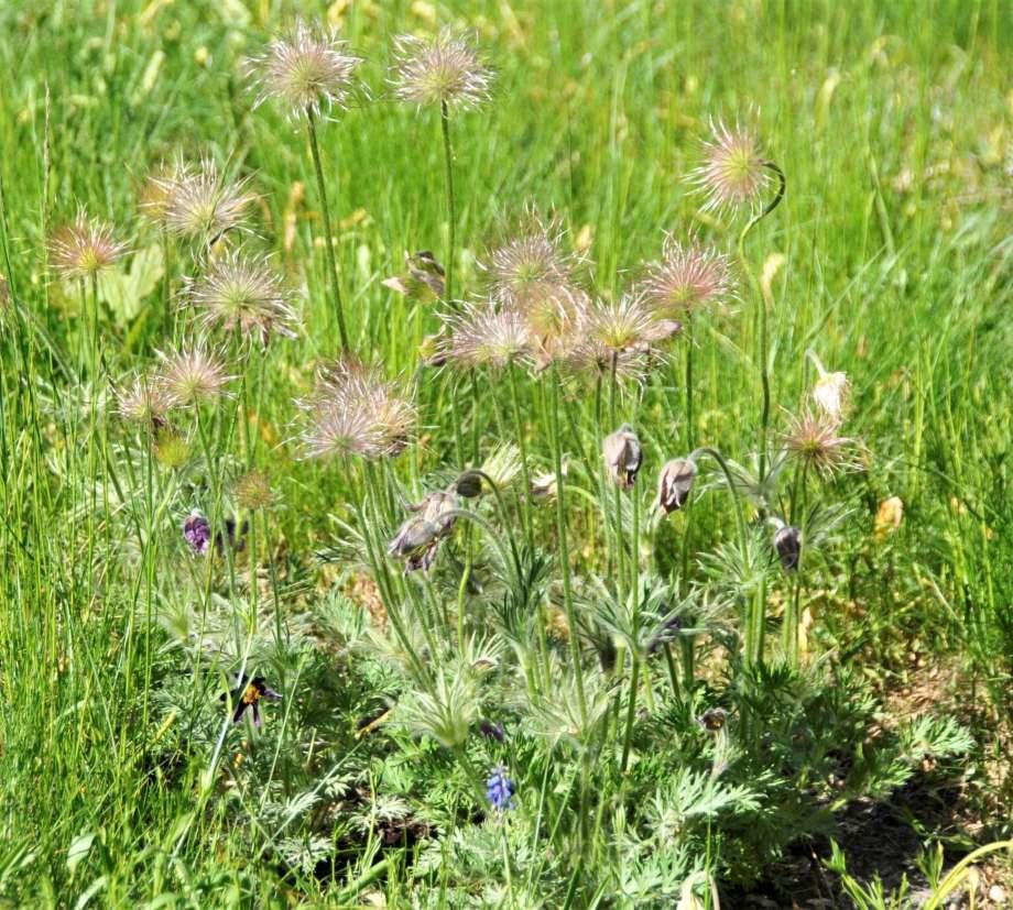 fröställningar och blommor av backsippor
