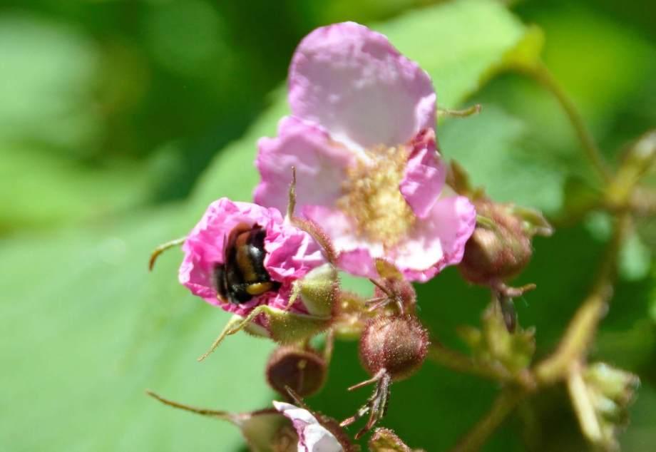 humla samlar pollen i rosenhallonblomma