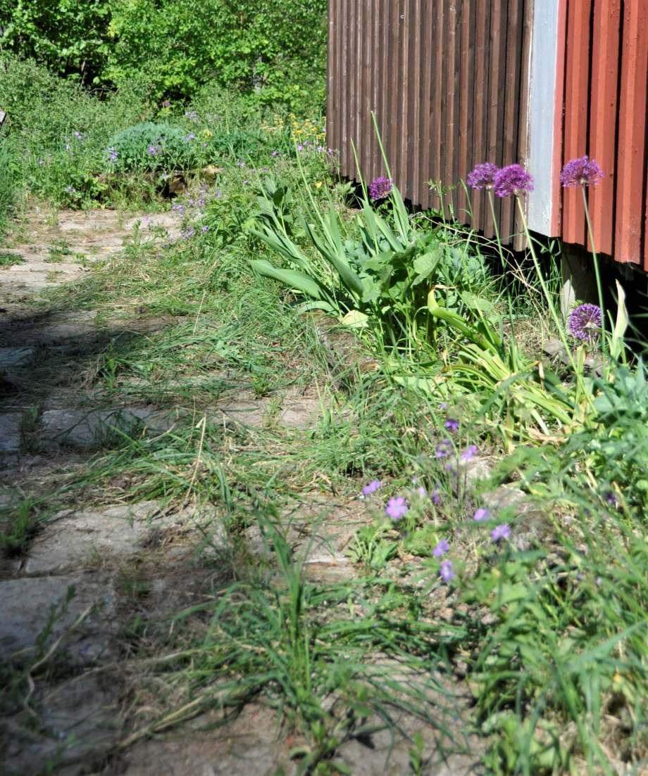 rabatt med allium och utblommade tulpaner. Rensat ogräs ligger framför på trädgårdsgången.